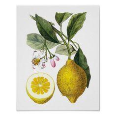 Zitrusfrucht-Zitronen-botanischer Druck-Nr. 9- Poster