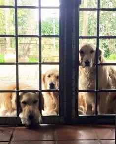 Goldens waiting...