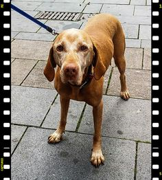 LOVE Vizsla  ~ a pic my wife took from our dog with smartphone: DO YOU SEE THE SIGN ON HER HEAD ? It´s natural ! Almost anyone who come towards us, first looks with big eyes ... then immediately show a smile on his face : )) that makes me happy too !  eLKayPics All rights reserved