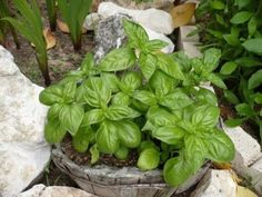 La Albahaca   Cuidar de tus plantas es facilisimo.com