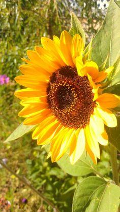 A Sunny Sunflower! Happy Flowers, Yellow Flowers, Wild Flowers, Beautiful Flowers, Sun Flowers, Sunflower Garden, Sunflower Flower, Pocket Full Of Sunshine, Sunflowers And Daisies