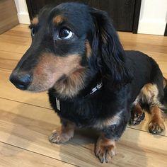 ママが多忙であんまり遊んでもらえなくて僕は、不満ですΣ(-᷅_-᷄๑)  I am frustrated. Because My my mother is busy, so she will not play with meΣ(-᷅_-᷄๑)  #dog #instadog #ponzkun #dogs #loverdogs #ponz_kun #ponz #MiniatureDachshunds #Cute #Dachshundoftheday #カワイイ #kawaii #犬 #愛犬 #idol #アイドル #ポンズ #ミニチュアダックス #ダックス #ポンズ君