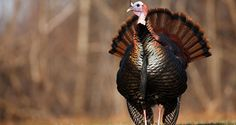 YOU KILLED A WILD TURKEY—NOW WHAT?