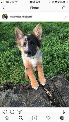 German Shepherd and Australian Shepherd Mix. Cute Funny Animals, Cute Baby Animals, Animals And Pets, Cute Dogs And Puppies, I Love Dogs, Doggies, Aussie Puppies, Beautiful Dogs, Animals Beautiful