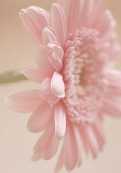 Gerbera Daisy. They can be purchased as house plants and are good air purifiers…