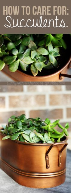 How to Care for Succulents | Sunny with a Chance of Sprinkles | Bloglovin