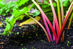 13 things to know about growing rhubarb.