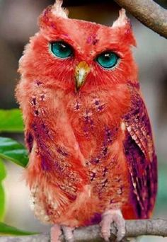 PetsLady's Pick: Amazing Red Owl Of The Day...see more at PetsLady.com -The FUN site for Animal Lovers