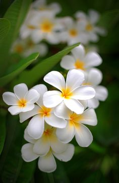 Plumeria, Frangipani, by Joe Candrilli Tropical Flowers, Exotic Flowers, Amazing Flowers, Beautiful Roses, Pretty Flowers, White Flowers, Colorful Flowers, Flores Plumeria, Plumeria Flowers