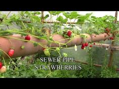 How To Grow Organic Strawberries In A Floating PipeREALfarmacy.com | Healthy News and Information
