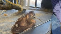 PinSpider – Watch: Baby orangutan flips out over magic trick