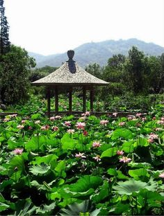 Lotus flowers in the Lovers' Park of Xuanwu Lake, Nanjing, China. Nanjing, Gazebo, Lotus Flowers, Outdoor Structures, Park, Nature, Plants, Lovers, China