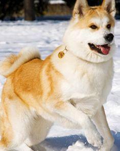 akita most expensive dogs Akita Dog, Akita Puppies, Shiba Inu, Chien Akita Inu, Japanese Akita, Japanese Dogs, Japanese Style, Golden Retrievers, Bulldogs