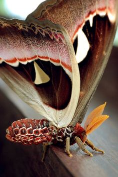 Atlas Moth (silk or emperor moth) has the largest wingspread of any moth species. Beautiful Bugs, Beautiful Butterflies, Amazing Nature, Beautiful Things, Beautiful Flowers, A Bug's Life, Wild Life, Beautiful Creatures, Animals Beautiful