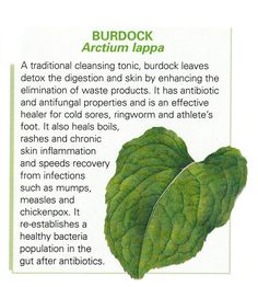 Burdock leaf uses