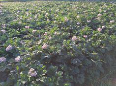 今年もじゃがいもの花が満開(⌒▽⌒)