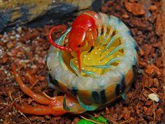 Scolopendra centipede with eggs