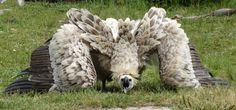 """shaniae: """"this is some proto-drake monster hunter Rathian bullshit, just look at this bird """" Harpy Eagle, Birds Of Prey, Nature Animals, Exotic Animals, Beautiful Birds, Animal Drawings, Animal Kingdom, Pet Birds, Animal Pictures"""