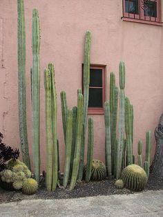 Pink walls I Cactus Cacti And Succulents, Cactus Plants, Garden Plants, House Plants, Cactus Art, Cactus Decor, Plants Are Friends, Cactus Y Suculentas, Desert Rose