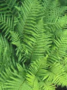 Dryopteris Filix-Mas - Strong upright grower with light green lance-shaped fronds and brownish scaled stems.