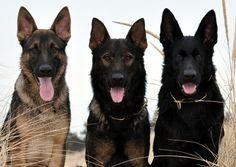 German Shepherd Puppy Breeder MA | German Shepherd Dog Training ...