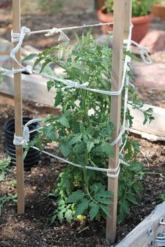 How to Stake Tomatoes the Rustic Sicilian Way - this even looks better than those wire tomato cages!: