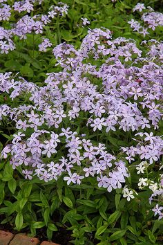Woodland Phlox (Phlox divaricata) at Oakland Nurseries Inc
