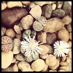 Living Stones (Lithops): fascinating succulents that blend into the rocks around them...until they burst into bloom!