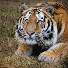 That look star Beautiful Cats, Animals Beautiful, Cute Animals, Big Cats, Cats And Kittens, Grand Chat, Tiger Video, Look Star, Gato Grande