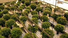 Usine de cannabis Tweed Solution Gourmande, Tweed, Plants, Apple Chicken, Plant, Planets
