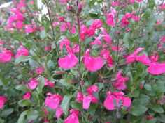 """salvia microphylla """"pink beauty"""""""