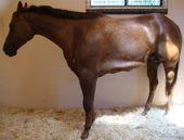 Pigeon Fever in Horses-Quarter Horse News