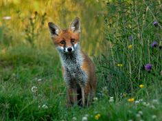 Fox cub by John Robinson on 500px