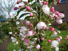 Malus Adirondack Plants, Image, Container, Planters, Plant, Canisters, Planting