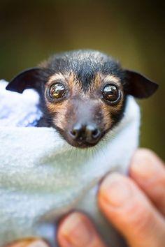Orphan fox face baby bat's.I love bat's especially the fox faced bats.(spectacled flying-fox)