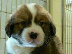 St Bernard, our next puppy