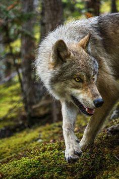 "spiritofthewoodlands: "" Wild by John Van Den Hende """