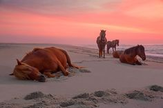 Assateague's ponies