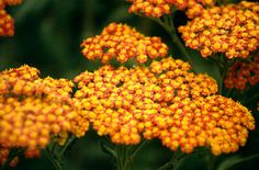 Achillea 'Walther Funcke'   yarrow 'Walther Funcke'/RHS Gardening: Easy-growing perennial is also a great cut flower. Not liked by deer, rabbits, and most other pests. Lots of of varieties can grow to 4 feet tall.  Likes full sun and well drained soil. Love the color of this variety.