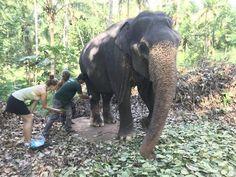 Paid for Kandula's Knee Surgery - Success - Aliya Dung Paper Knee Surgery, Eco Friendly Paper, Help The Environment, Elephant, Success, Life, Elephants