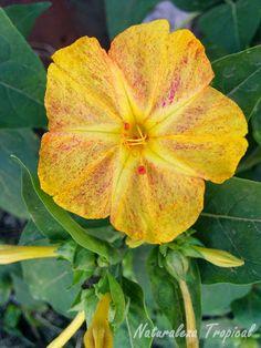 Variedad amarilla matizada de una flor del género Mirabilis