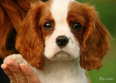King Charles Cavalier spaniel Puppy by Spangles44 Blinkagain for interesting images, via Flickr