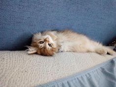 Persian Kittens, Style Inspiration, Cats, Animals, Gatos, Animales, Animaux, Animal, Cat
