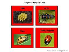 Diverging Lives: Ladybug Life Cycle