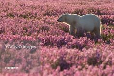 Polar Bear (Ursus maritimus) female in a field of fireweed, Hudson Bay, Canada Bay Canada, Hudson Bay, Polar Bear, Image, Bears, Flower, Bear, Flowers