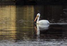 Pelican on Lake Wisconsin - www.devilslakewisconsin.com