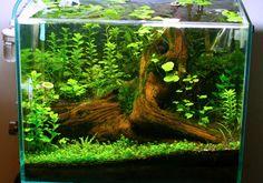 *pics* - The Planted Tank Forum - Gallon Fantasy Tree Stump! *pics* – The Planted Tank Forum - Aquascaping, Aquarium Aquascape, Betta Aquarium, Planted Aquarium, Aquarium Terrarium, Betta Fish Tank, Nature Aquarium, Fish Tanks, Planted Betta Tank