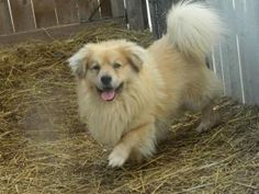 Hobbes is an adoptable Corgi Dog in Muncie, IN. ARF's adoption hours are Tues, Wed, and Thur 1-5pm & Sat Noon-3pm. We can hold animals for out-of-town visitors with an approved application, so if you ...