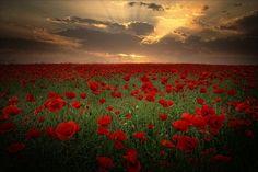 Poppy: Poppies Field - Albena Markova