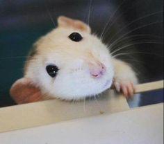 White Rat.